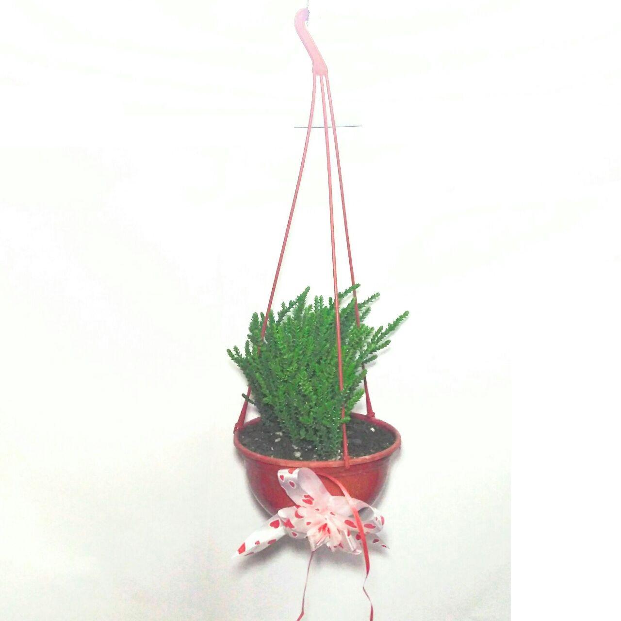 plantas colgantes suculentas abanico bazar - Plantas Colgantes